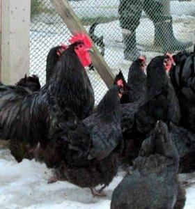 Яйцо Австралорпа черного инкубационное