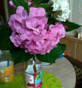 Гортензия садовая ( ст.Багаевская)