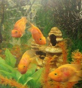 Аквариумная рыбка-ПОПУГАЙ