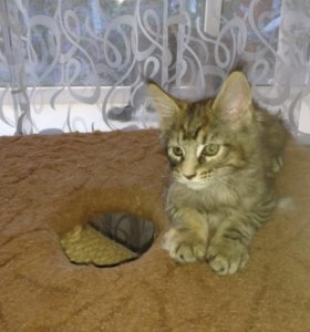 Продаю котят породы Мейн-кун