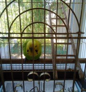 Продаются два попугая