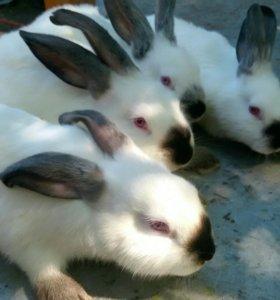 Продам кроликов породы Калифорния и серебристые