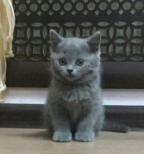 Отдам в добрые руки британских котят