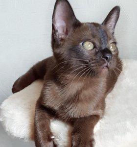 Бурманские  кошечки ( отборный класс)