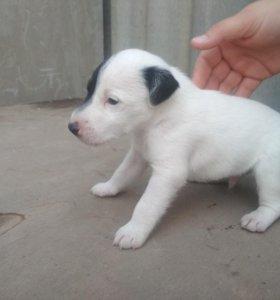 Фокстерьер гладкошерстный щенки