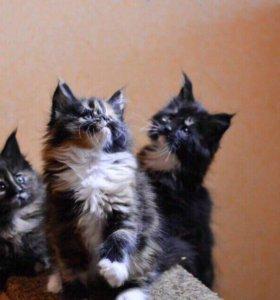 Шикарные котята мейнкун!!!!