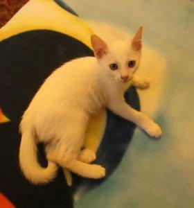 Котенок - мальчик, окрас белый, 2,5 мес.