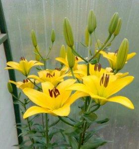 Луковицы лилий желтые цветущие