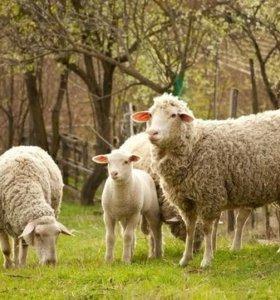 Продам овец, баранов.