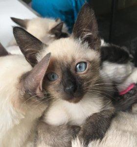 Тайские котята 2 месяца