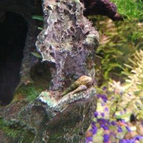 Грунтовые улитки для аквариума - мелании