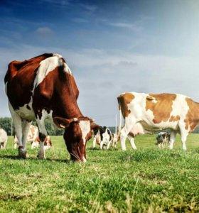 Продаются первотелки 3 и 1 корова