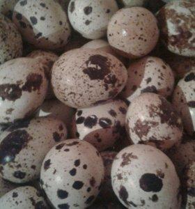 Яйца перепелов.