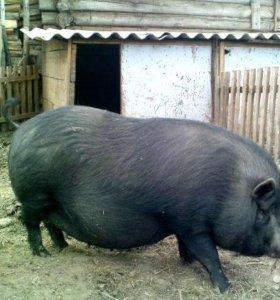 Огул свиней!