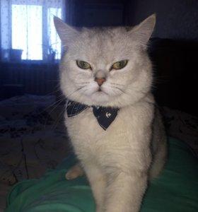 Продам котика серебристая шиншилла.