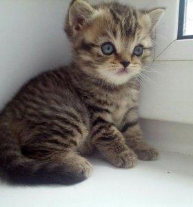 Девочка от шотландской вислоухой кошки