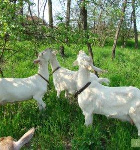 Зааненские козы и козлики 3 месяца