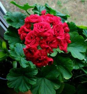 Пеларгония розовидная красная
