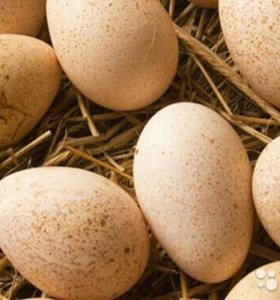 Яйцо индюков на инкубацию