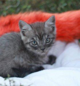 Котенок кошки британской породы
