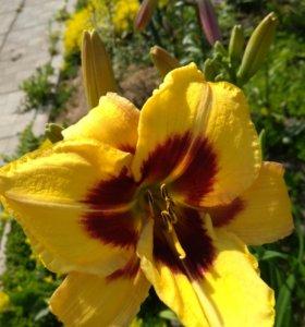 Лилейники начало цветения