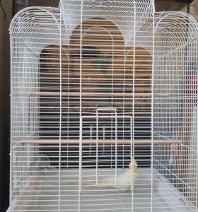 Попугай корелла 3.5 месяца