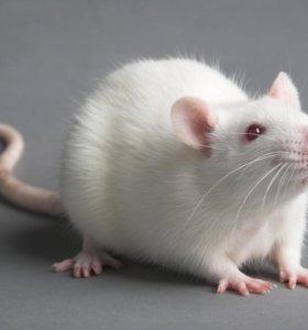 крысу с клеткой