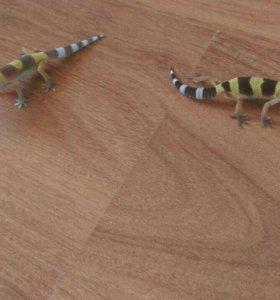 Леопардовый гекон