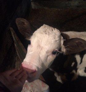 Молоко(от своей коровки)
