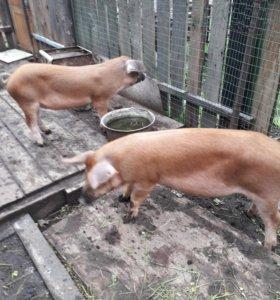 Свиньи порода(ландрас)