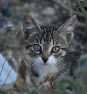Котенок Тигруля