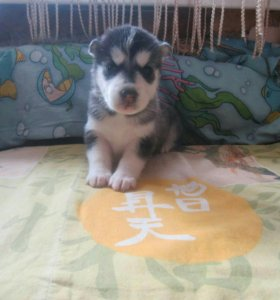 Продам щенков сибирский хаски