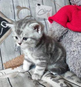 Плюшевый котик скоттиш страйт