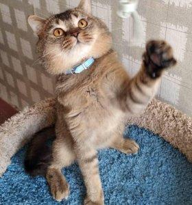 Шикарный шотландский кот