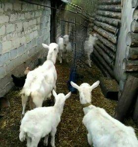 Дойные козы,козлята