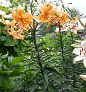 Многолетние цветы на дому. от 100 руб распродажа