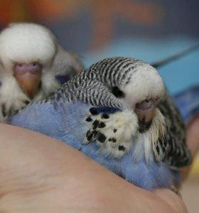 Птенцы выстовочных попугаев или обмен на Корелл