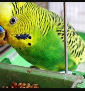Волнистые молодые попугайчики!