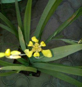 неомарика цветок