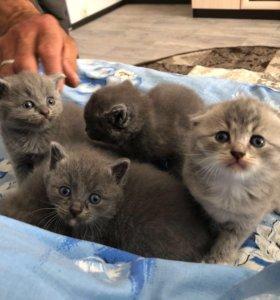 Шотландско-Британские котятки, остались 2 шт.