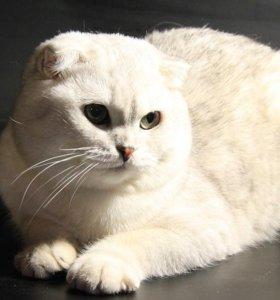 Вязка кот зеленоглазая шиншилла