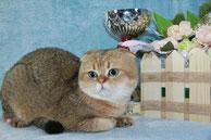 вязка с золотым котиком