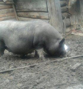 Вьетнамская свиноматка