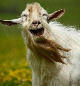 Срочно продам коз.