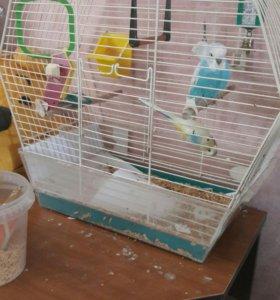 Волнистый попугай 3 месячный корм в ПОДАРОК