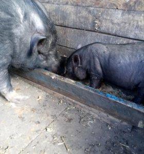 поросята вислобрюхой вьетнамской свиньи
