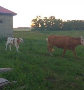 Корова с теленком на подсосе