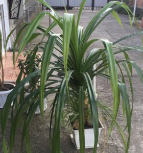 Декор-растение