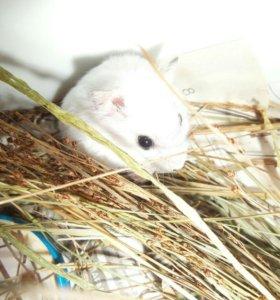 Белые джунгарские хомячки