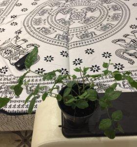 Цветы комнатные жасмин